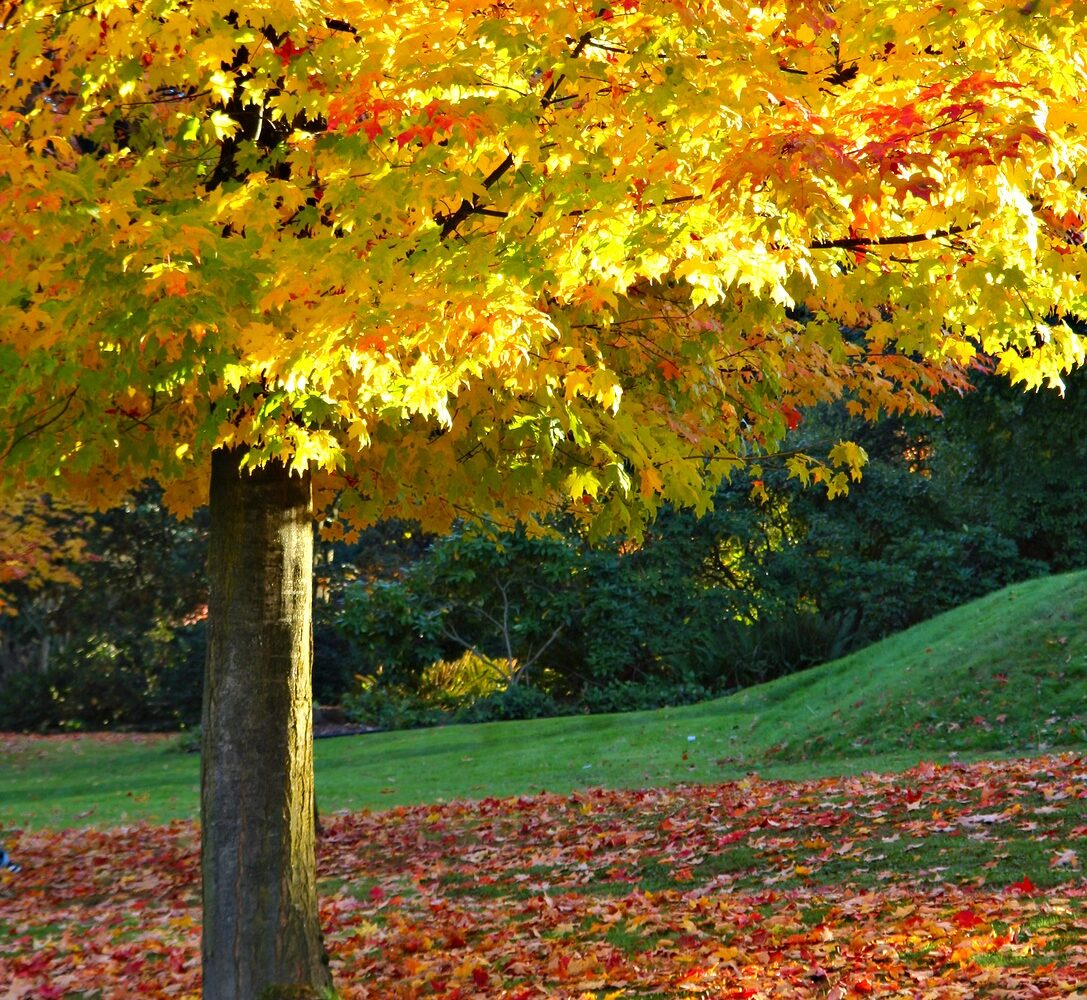 Maple tree in the fall with leaves on the ground.